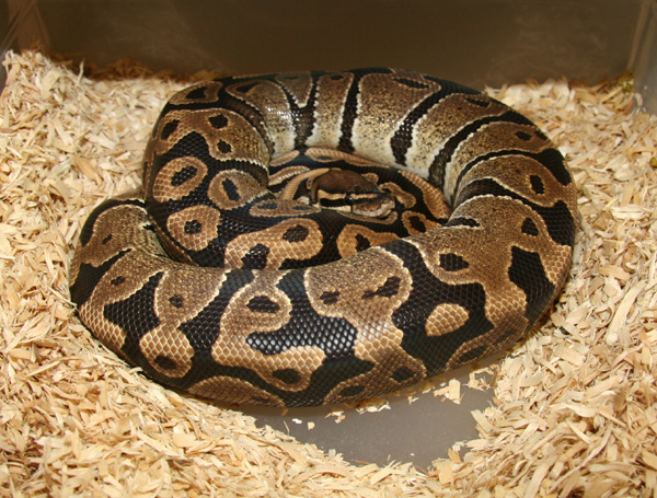 Breeding Pictorial Markus Jayne Ball Pythons