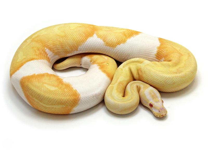 albino-piebald