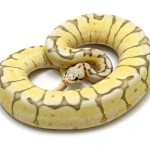 Ball Python, Killer Bee Fire morph