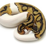Ball Python, Piebald morph