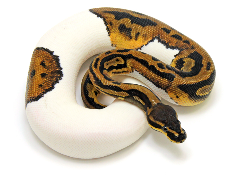 Ball Python, Piebald Leopard morph