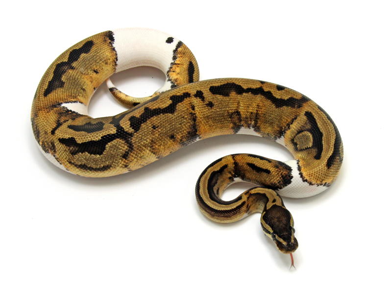 Ball Python, Piebald Low White morph