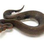 Ball Python, Super Cinnamon morph