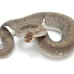 Ball Python, Super Cinnamon Pastel morph