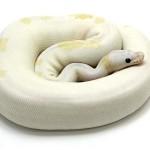 Ball Python, Super Fire morph