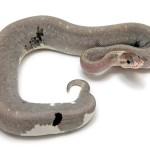 Ball Python, Super Pewter morph