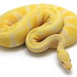 Ball Python, Toffino Pastel morph