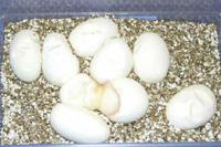 33 double-egg_s