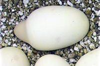35 boob_egg_s