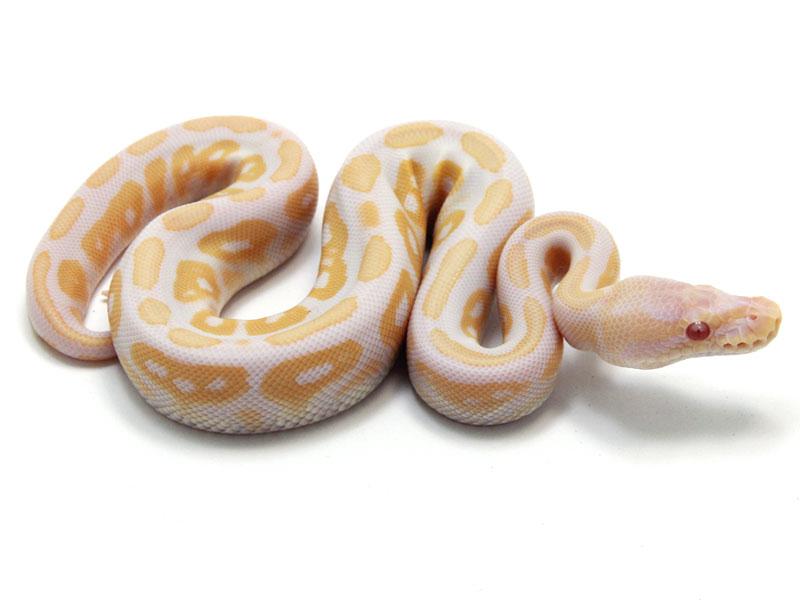 Pastel lesser bee ball python