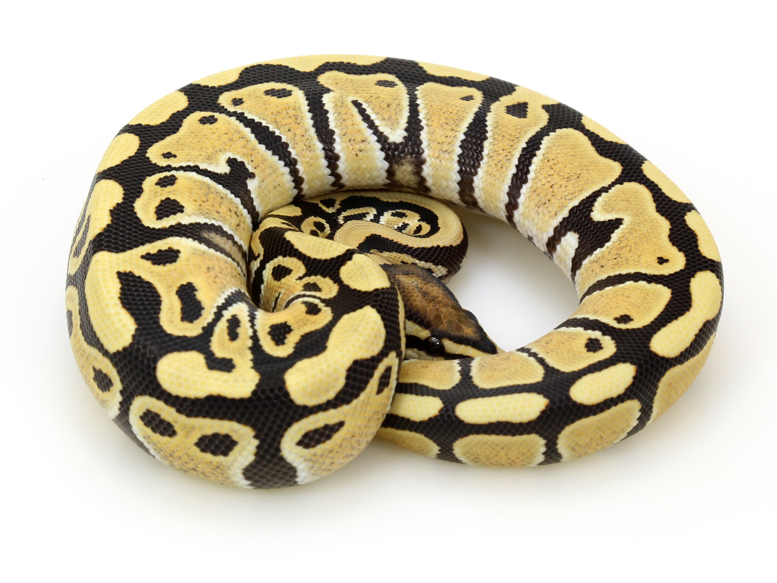 Should i get a male or female ball python-7901