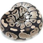 Ball Python, MJ Axanthic