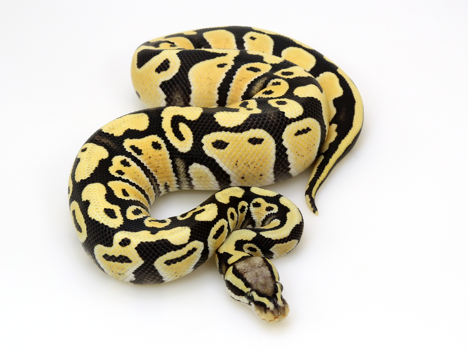 Pastel Desert Ghost – 2016 Male