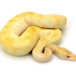 albino-butter