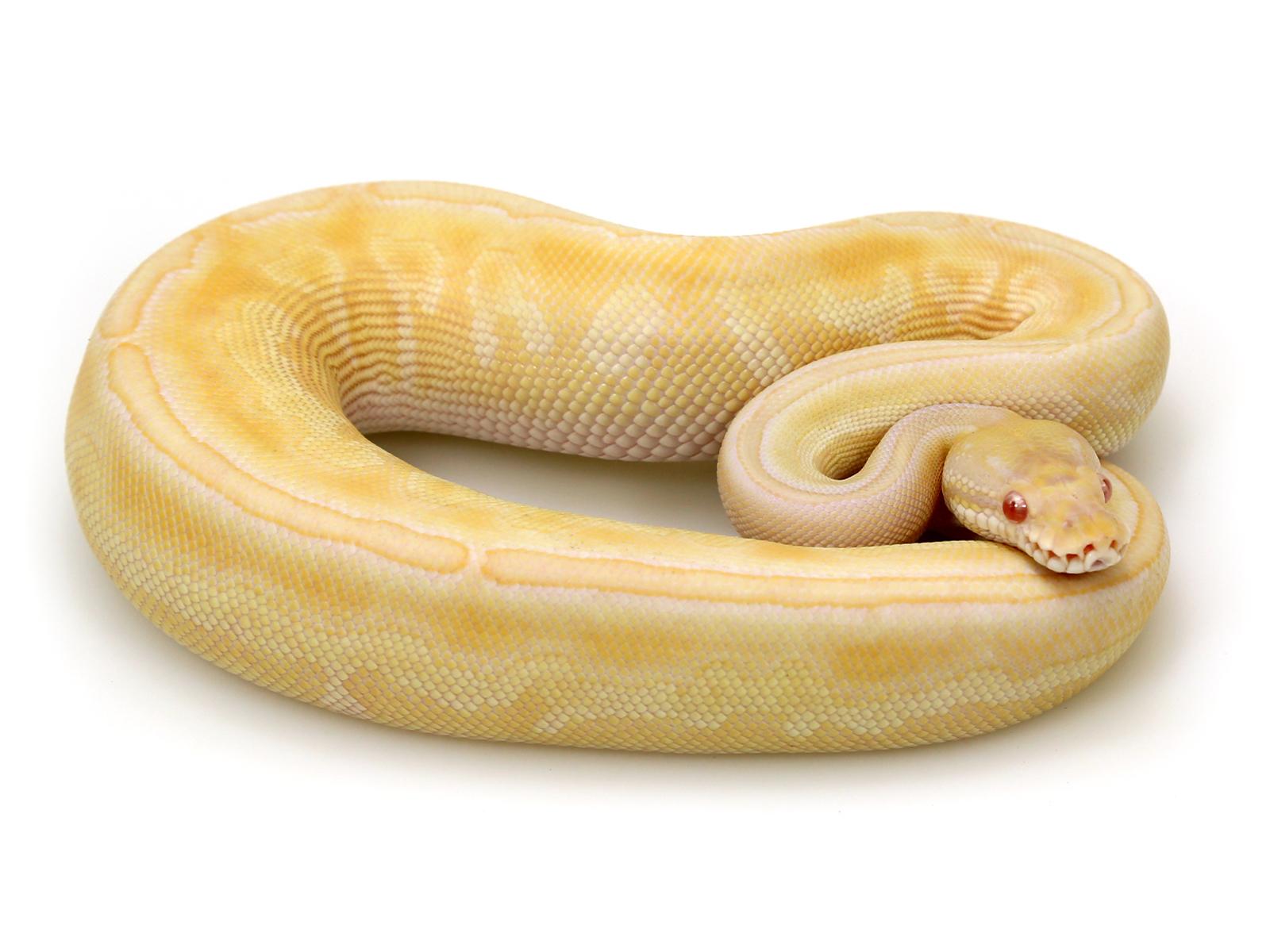 albino-butter-black-pastel-col3