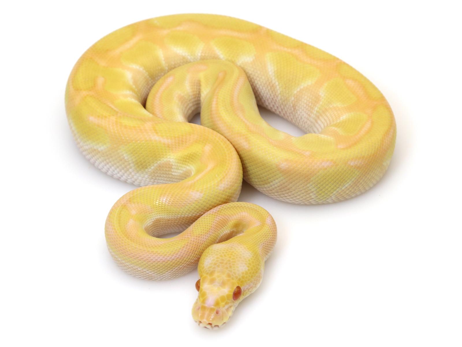 albino-butter-enchi