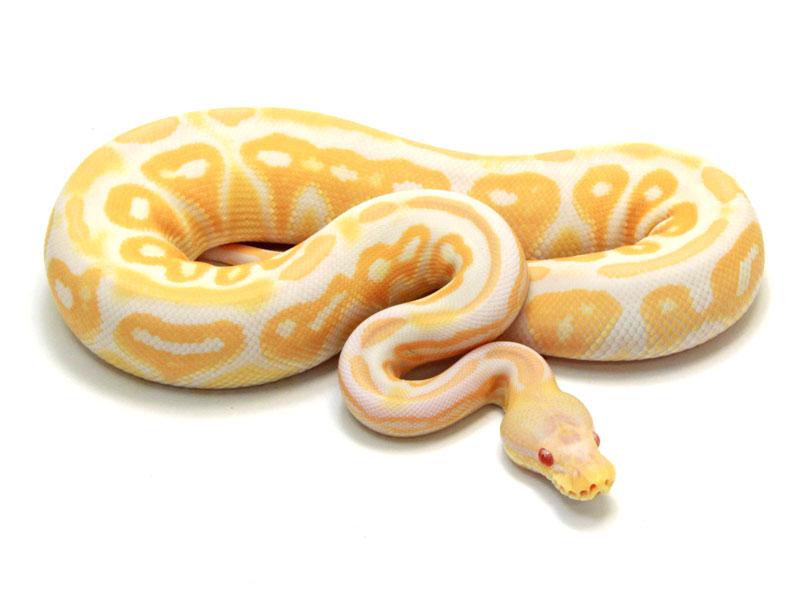 ball python, albino cinnamon