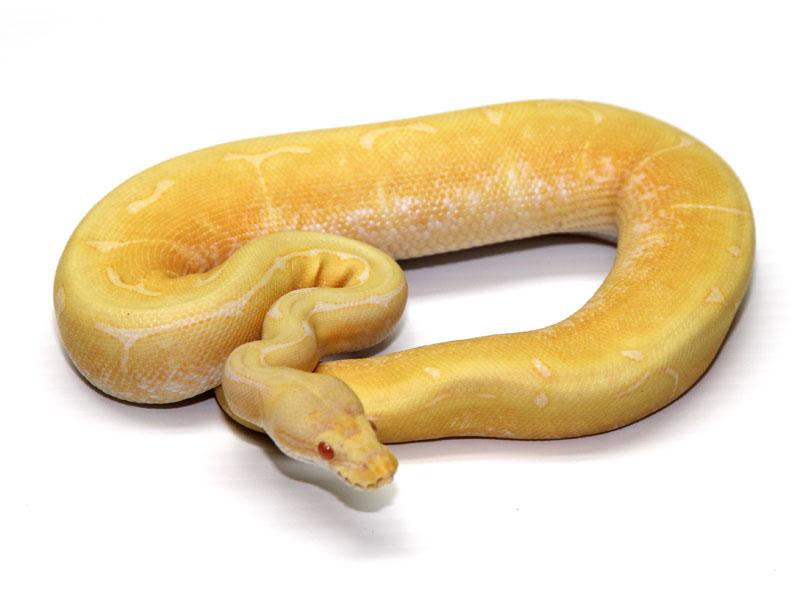 ball python, albino spider