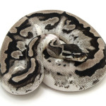 ball python, axanthic piebald low white