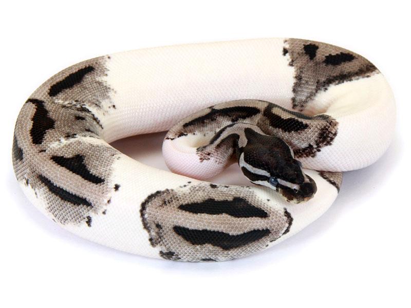 Pied clown ball python - photo#55