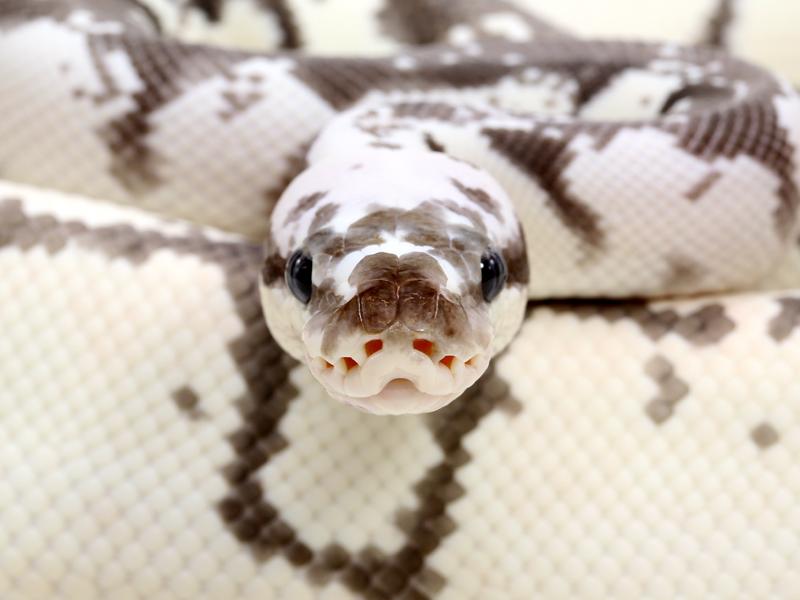 Markus Jayne Ball Pythons – Always Evolving