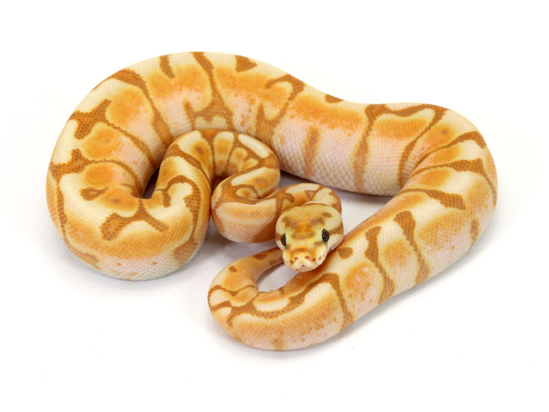 Banana spider ball python - photo#22