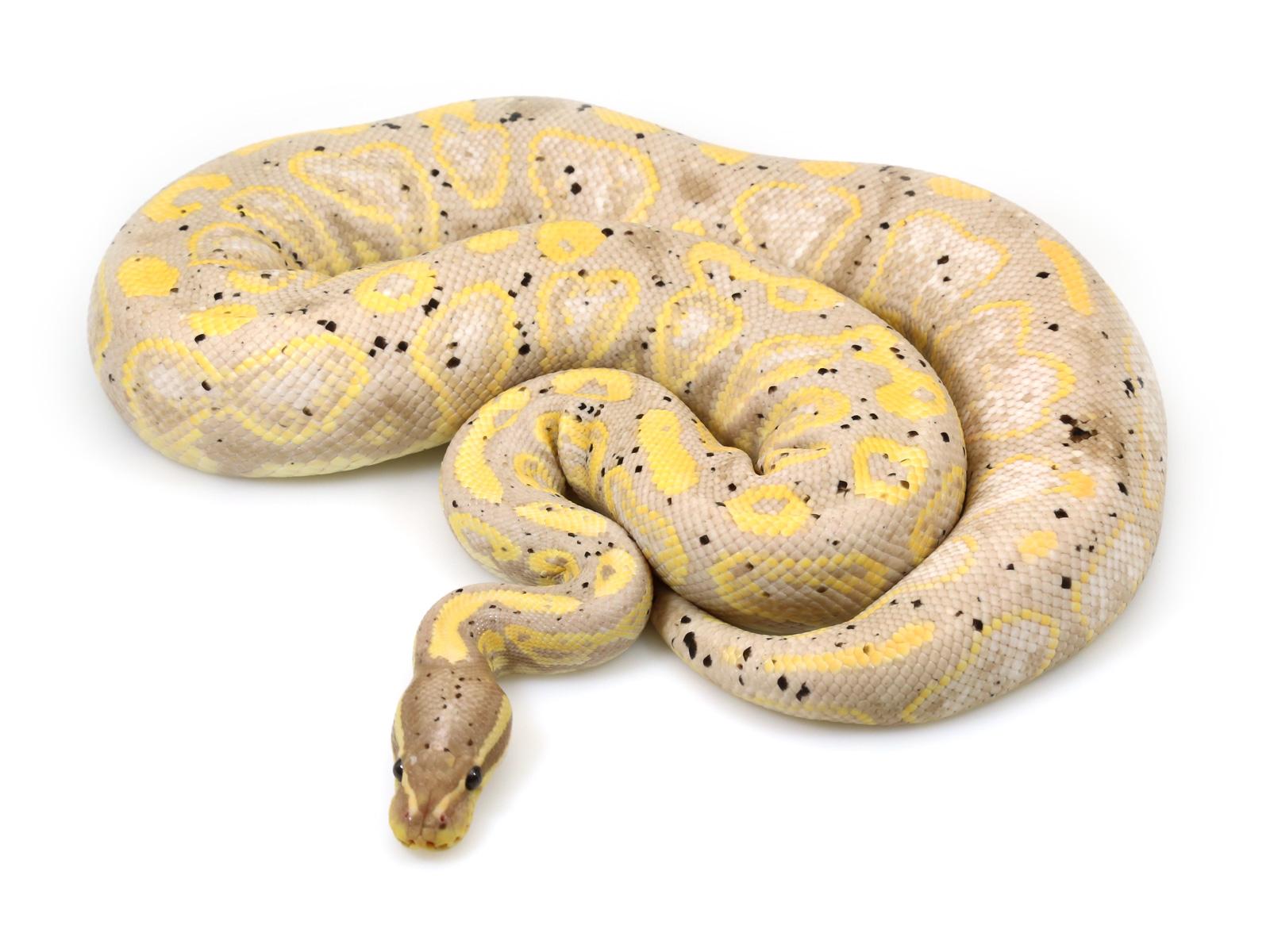 Champagne pied ball python