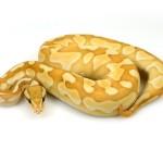 ball python, banana butter cinnamon enchi