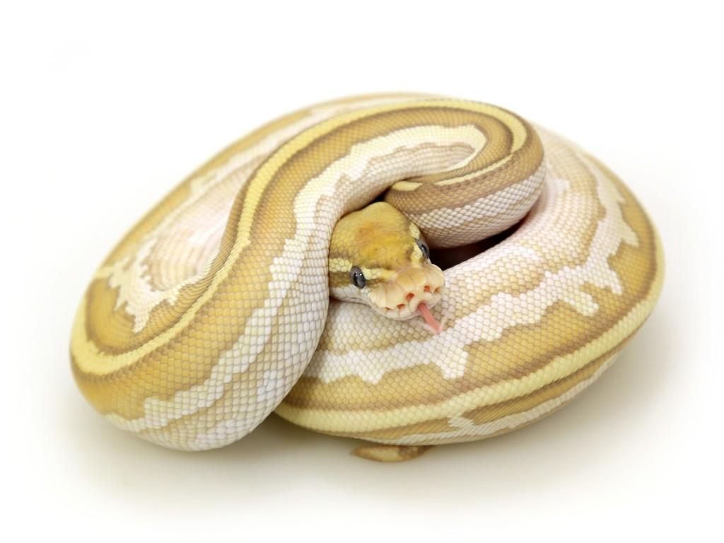 butter lesser ball python