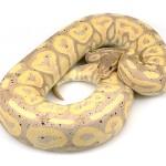ball python, banana cinnamon