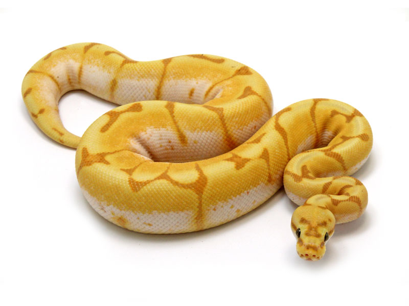 Banana spider ball python - photo#8