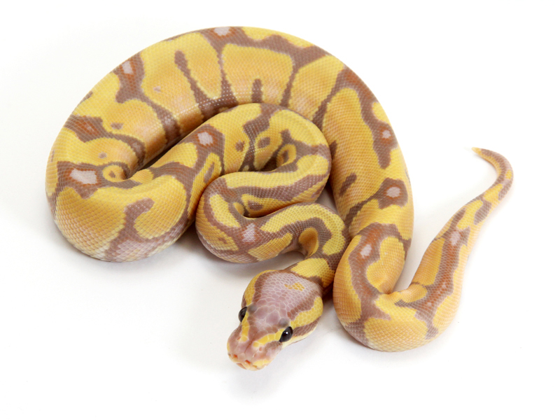 Banana spider ball python - photo#23