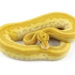 banana-leopard-lesser-pastel-col