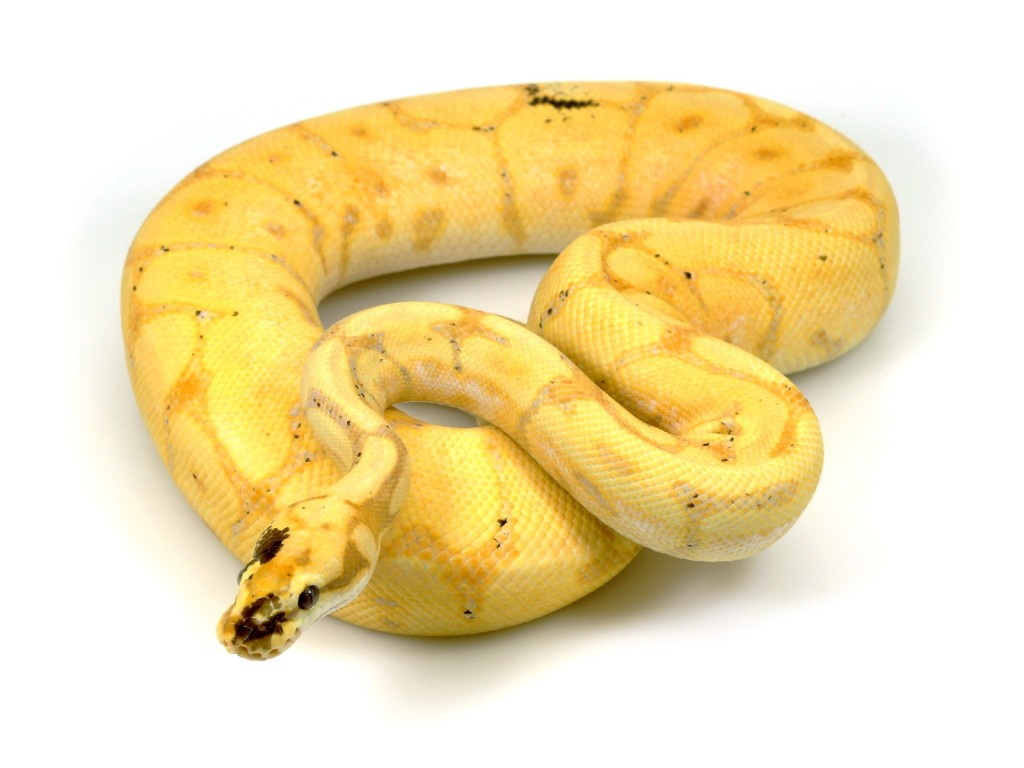 Banana spider ball python - photo#15