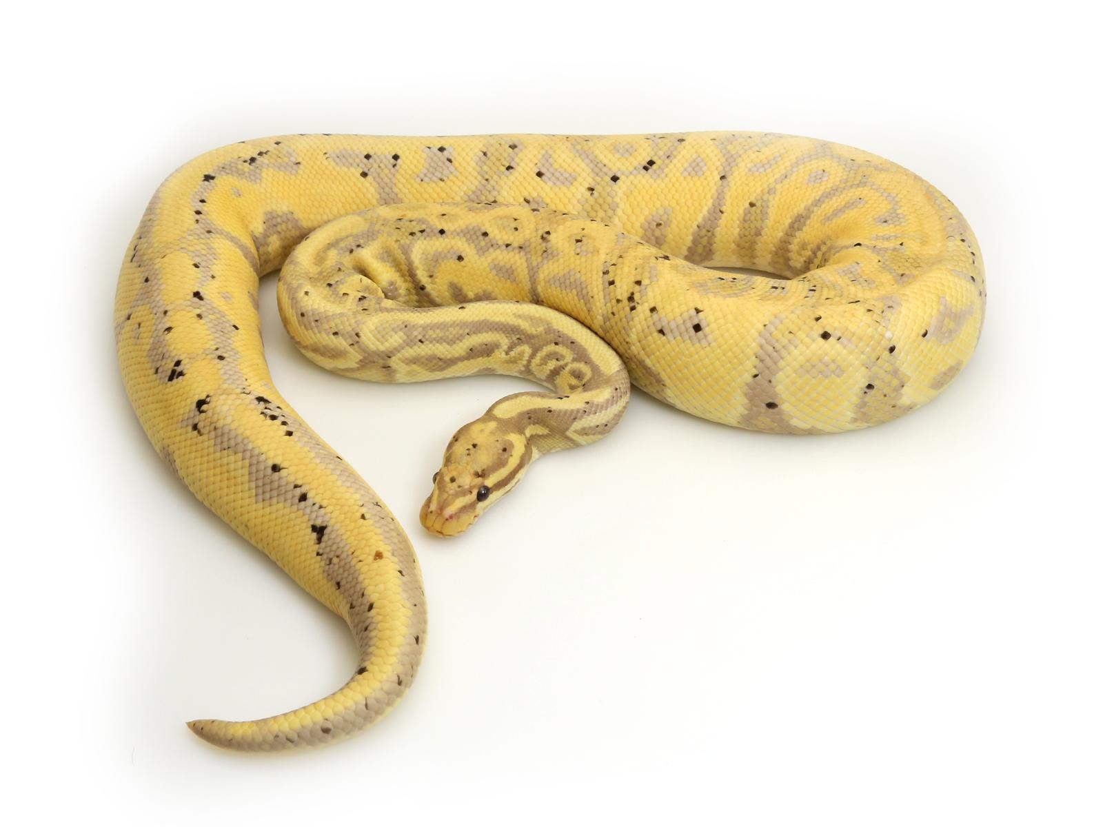 banana-leopard