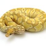 banana-lesser-pastel-enchi