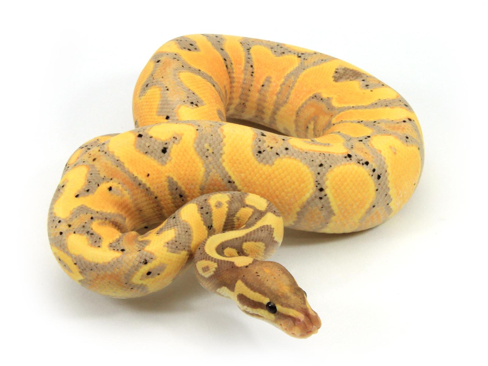 banana-yb