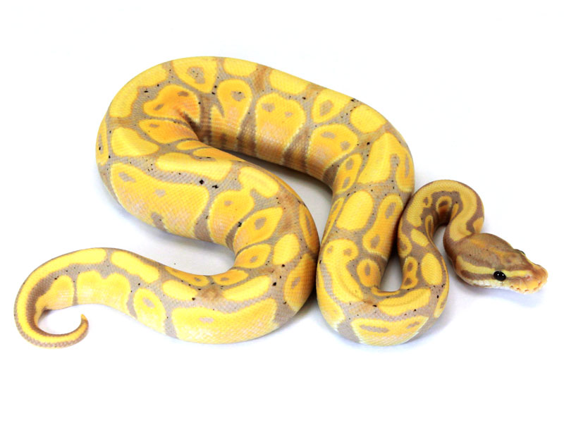 Banana spider ball python - photo#25