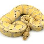 banana 50% het piebald