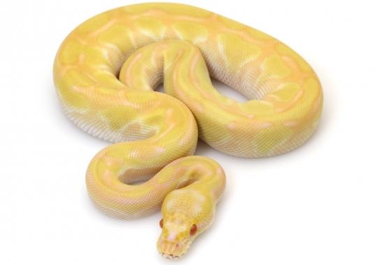 Albino Butter Enchi