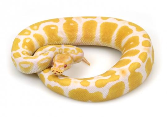 Albino Java
