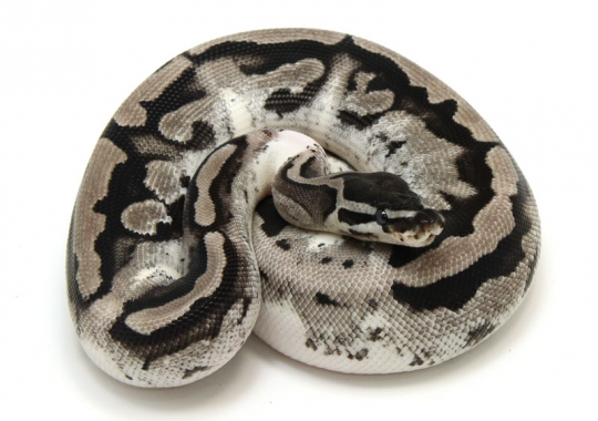 Axanthic Piebald (Lightning – Low White)