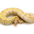 Banana Banded