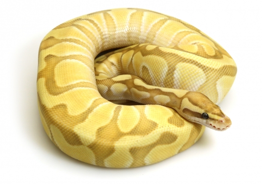 Banana Butter Enchi