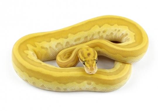Banana Leopard Lesser Pastel