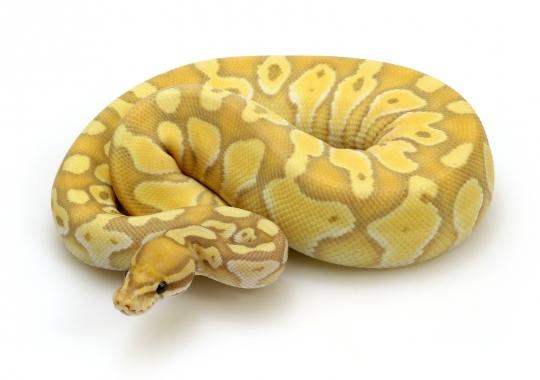 Banana Lesser Pastel Enchi