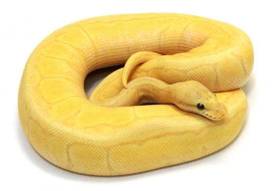 Banana Pastel Pinstripe