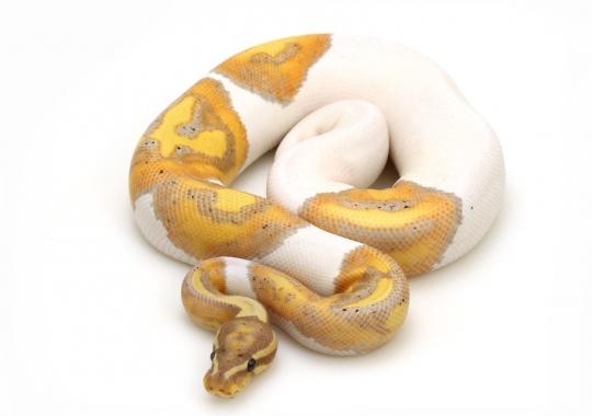 Banana Piebald