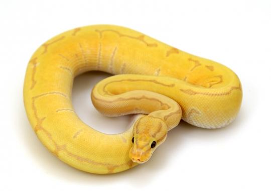 Banana Pinstripe