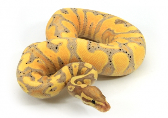 Banana Yellow Belly